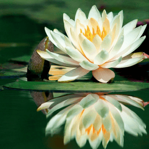 flor de loto yoga